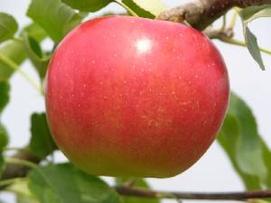 sansa apple