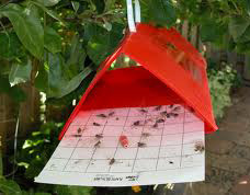 Flinchbaugh uses thes traps that measure insect populations
