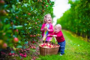 Pick Your Own Apples – Friday's & Saturday's